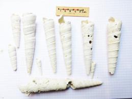 Turitelles Gisors Lutetien - Fossiles