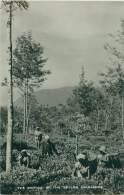 Tea Picking In The Ceylon Highlands - Sri Lanka (Ceylon)