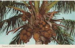 Cocoanut Tree Loaded Fruit Florida - Tampa