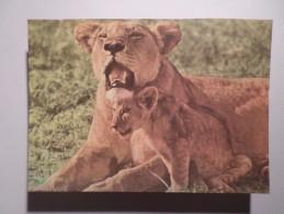 AFRICA AFRIKA AFRIQUE MOZAMBIQUE MOÇAMBIQUE AFRICAN FAUNA LEÃO LION LIONS 1970 YEARS POSTCARD - Mozambique