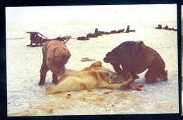 Cpa  USA Alaska Eskimos Skinning A Polar Bear In The Artic Region Of Alaska   LIOB99 - Etats-Unis