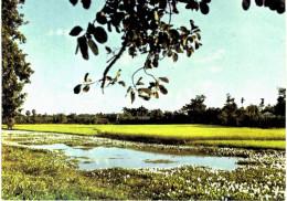 Asie - Bangladesh Paddy Fields Of Comila - Bangladesh