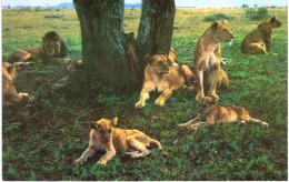 Thème - Animaux - Lion Tanzanie - 2 Cartes - Lions