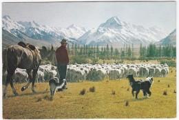 Glentanner Station, Mt. Cook - Sheep Mustering - New Zealand - Nieuw-Zeeland