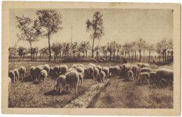 XZ37         PECORE, SHEEP, LAMBS,  AL PASCOLO - Animals