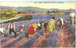 Dépt 04 - CUEILLETTE DE LA LAVANDE (couleur) - France