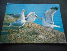 """CP - """"GOELANDS ARGENTES"""" -LES OISEAUX DE MER- Posté De BENODET - Oiseaux"""