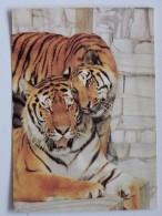 Tiger Siberian /   Zoo Ostrava Czech Postcard - Tigres
