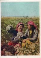 Tadjiskistan. Recolte Du Raisin - Tadjikistan