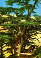 Liban : Cèdre Millénaire - Liban