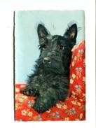 Cp - CHIEN - Scottish Terrier - Hunde