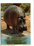 Cp - Hippopotame - Kenya - Hippopotames
