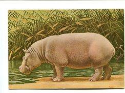 Cp - Hippopotame - - Hippopotames