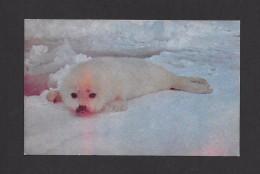 ANIMAL - ANIMAUX - PETIT PHOQUE SUR LES GLACES DANS LE GOLFE ST LAURENT - PHOTO ALBERT G. FARRAH - Animaux & Faune