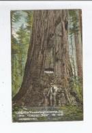 CALIFORNIA WONDERLAND CALAVERAS 81 BIG TREE EMPIRE STATE  94 FEET CIRCUNFERENCE  1917 - Etats-Unis
