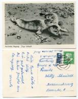 Germany - Nordseebad Langeoog - Junge Seehunde - Used 1955 - Nice Stamp - Langeoog