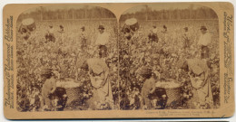 Real Stereo Cotton Is King Plantation Scenes Only Black People Working - Etats-Unis