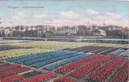 HILLEGOM HYACINTHENVELDEN CHAMPS DE FLEURS PAYS BAS NETHERLANDS - Zonder Classificatie