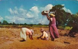 Women Rice Winnowing In Trinidad - Trinidad