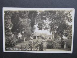 AK ISLE OF PINES Mango Trees  ///// D*20699 - Neukaledonien