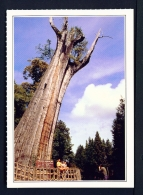 TAIWAN  -  Alishan Sacred Tree  Unused Postcard - Taiwan