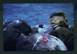 ECUADOR  -  Galapagos  Swallow Tail Gull  Unused Postcard - Ecuador
