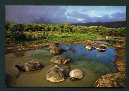 ECUADOR  -  Galapagos  Isabella Island  Alcedo Volcano  Giant Tortoises  Unused Postcard - Ecuador