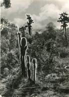 EQUATEUR(GALAPAGOS) SANTA CRUZ(CACTUS) - Equateur