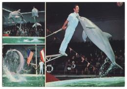 ANIMAIS - DOLPHINS - Florida Delfins Show( Ed. Grafica Castilla)  Carte Postale - Dauphins