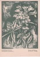 AK Rostblätterige Alpenrose - Serie Original-Kreidezeichnungen - Ca. 1930/40 (23446) - Blumen