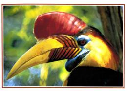 Thème - Oiseaux - Calao Des Celebes (jardin D´oiseaux Tropicaux La Londe Les Maures) - Uccelli