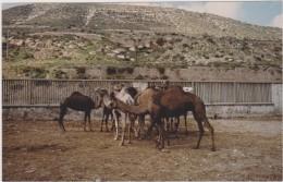 ISRAEL,PRES JERUSALEM,ELEVAGE DE CHAMEAUX,CHAMEAU,FERME,CO LLINE,PHOTO AMATEUR,PRES JORDANIE,SYRIE - Orte