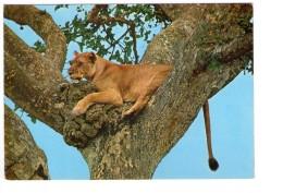 Q2428 EAST AFRICA, LIONESS SLEEPING -  LEONE, LION LOEWE LEON Lowe Leao Leeuw Animales, Animaux, Animals - Leoni