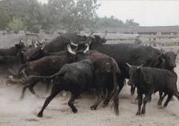 COMBAT DE TAUREAUX AU TRIAL (dil244) - Toros