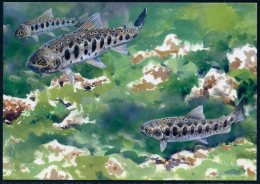 P. Trucha De Taiwán / Taiwan Trout / Cherry Salmon (Oncorhynchus Masou Formosanus) - Pescados Y Crustáceos