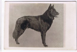 Foto CP 1920 DOG - Malinois Groenendael - Chiens