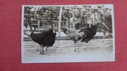 RPPC  - Florida>  Two Ostriches   Ref 2266 - Animals