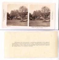 Middle Central Asia TURKMENISTAN Saxaul Trees Near Station PESKY Edition 1910 STEREOPHOTO - Uzbekistan