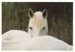 HORSES / PFERDE / CHEVAUX /    POSTCARD XL UNUSED     ( H  4504 ) - Pferde