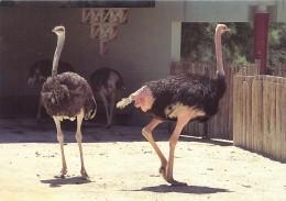 Avestruz Ostrich Autruche Straub - Aves Birds Oiseaux Pájaros - Zoo Lisboa - Ostriches Autruches Straube - Birds