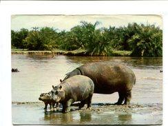 Cp - Hippopotames - Hippopotames