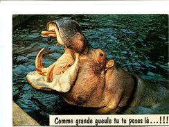 Cp - Hippopotame - Hippopotames