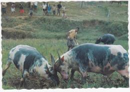Tana Toraja, Sulawesi - Buffalo Fighting - Kerbau - Indonesia - Indonesië