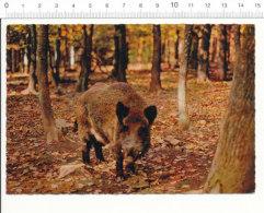 CPSM Sanglier / Animal Boar / Parc Animalier De Saint-Augustin (Allier)  / CP 68/27 - Animaux & Faune