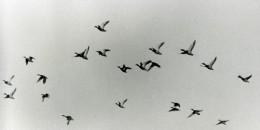France Oiseaux En Vol Canards ? Photographie Animalière Amateur Des Années 1970 - Foto