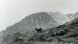 Italie Parc National Grand Paradis Chamois Photographie Animalière Amateur Des Années 1970