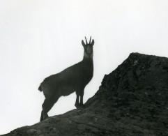 Italie Parc National Grand Paradis Chamois Photographie Animalière Amateur Des Années 1970 - Photographs
