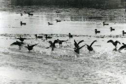 France Canards Sur Un Lac Oiseaux Photographie Animalière Amateur Des Années 1970 - Photographs