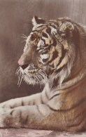 TIGER POSTCARD - Tigers