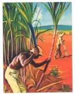 Chromo Offert Par Astra - Des Tropiques à Notre Table : La Canne à Sucre - Autres